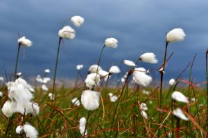 cotton-grass-haworth